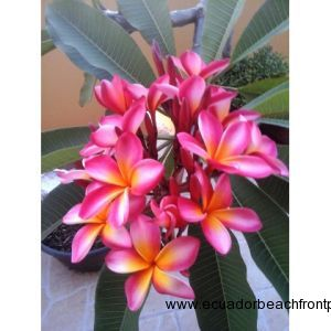 Beautiful Plumeria