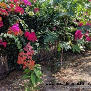 Bougainvillea and papaya trees