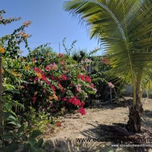 Bougainvillea and coconut palms