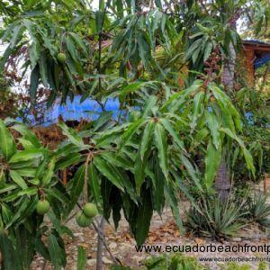 Mango tree