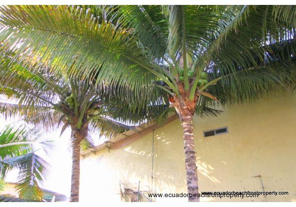 Mature coconut palms