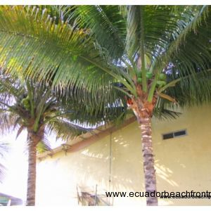 Mature coconut palms