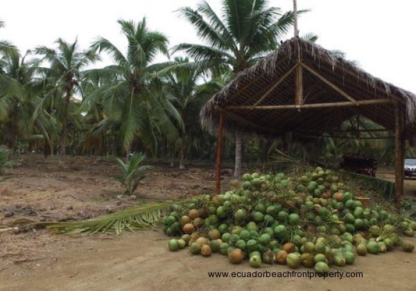 Coconutphotos (5)