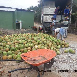 Coconut (2)