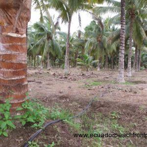 Coconutphotos (1)