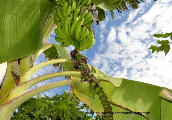 Banana (maduro)