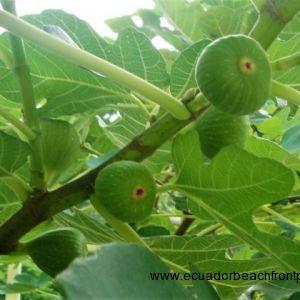 Figs taste better on the beach